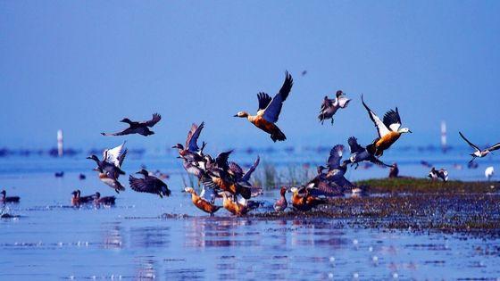 Migrated Birds across Chilika Lake