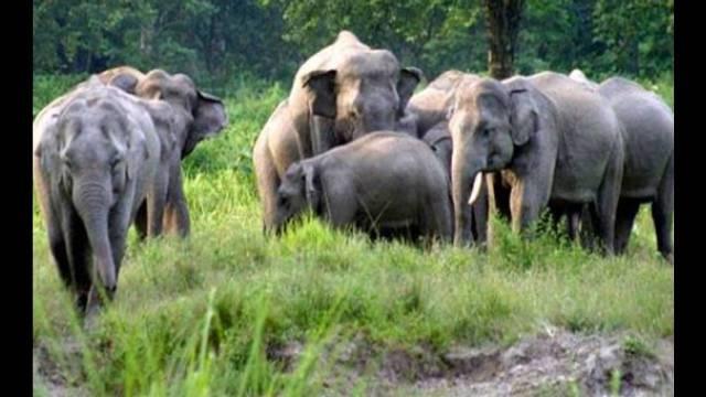 Chandaka Elephant