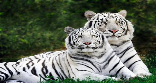 White Tiger at  Nandankanan