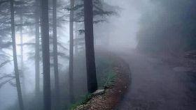long pine trees