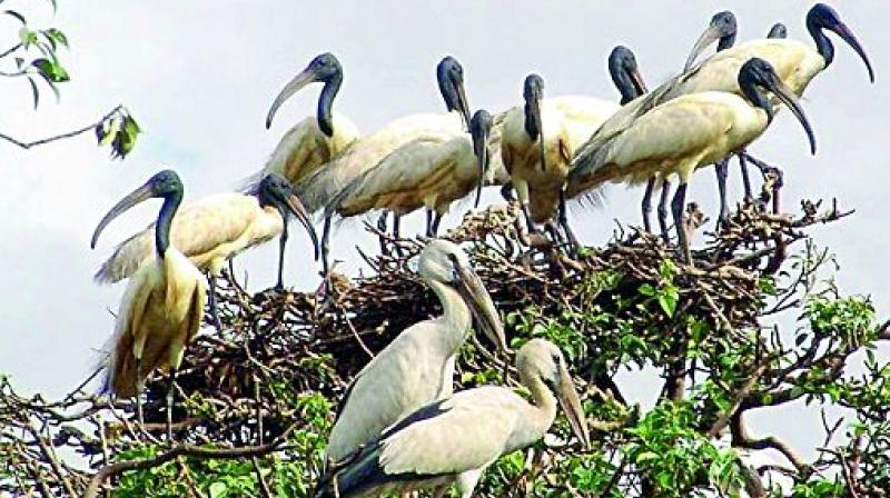 Black-headed African ibis and Pink-Backed pelican