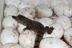 A newly hatched crocodile resting on unhatched eggs at a crocodile farm